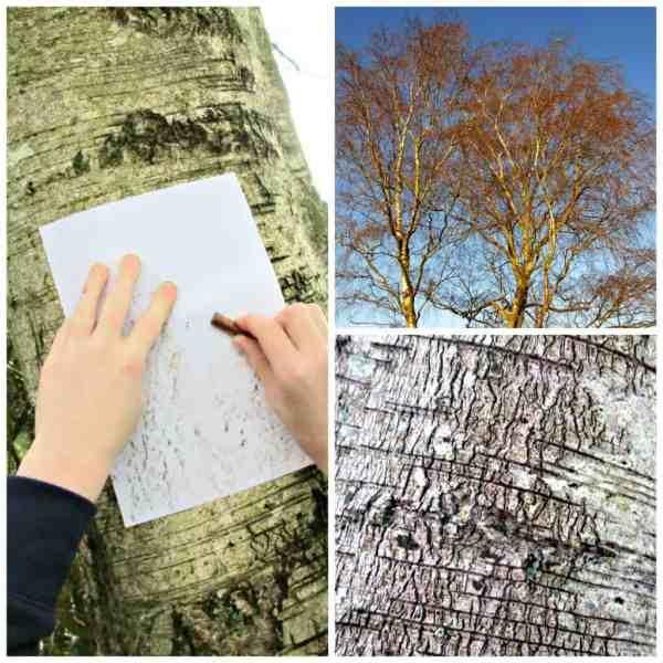 Silver Birch Collage