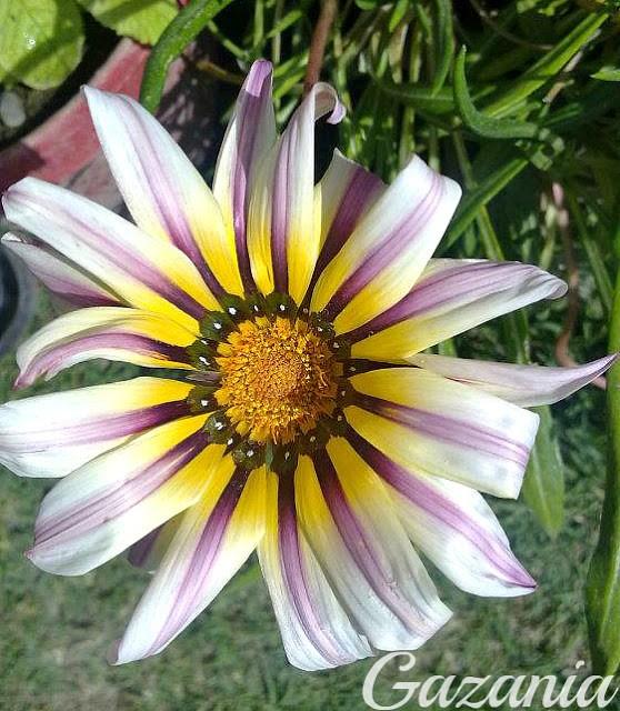 gazania-white-purple-shaded-flower-wallpaper