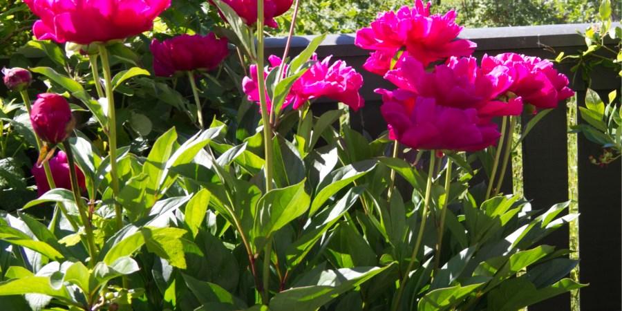 Peon in full bloom