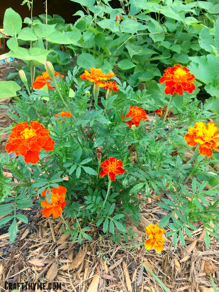 Marigolds mixed with vegetables like these scarlet runner beans make for an attractive garden.