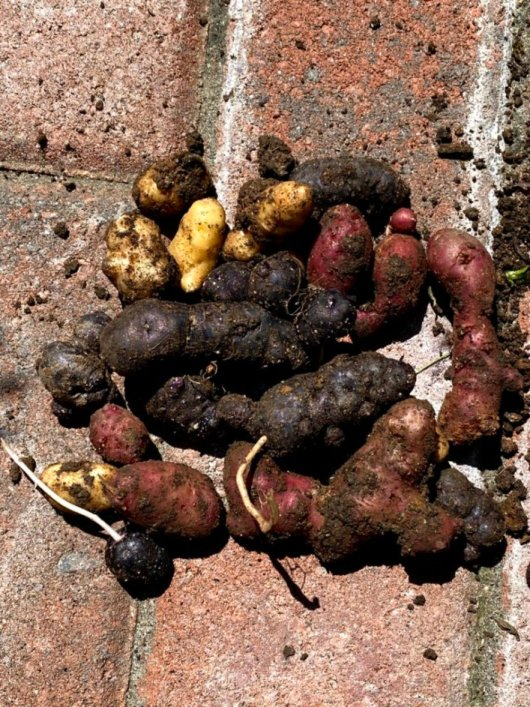 This is a very small harvest of fingerling potatoes