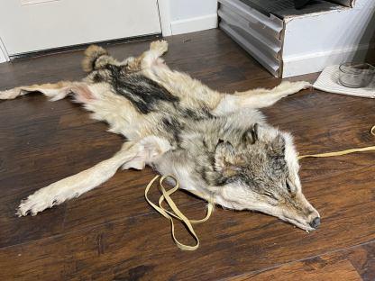 Wolfskin headdress all feet and claws Native