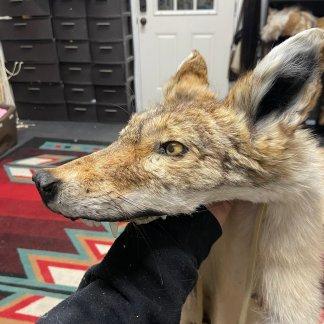 ounted head Coyote skin headdress w feet Native american Made