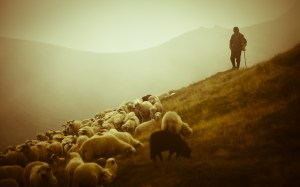 shepherd-sheep-12