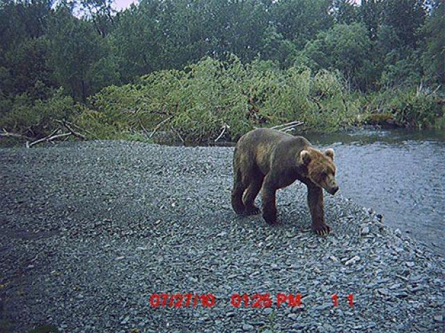 kodiak_bears_river_5