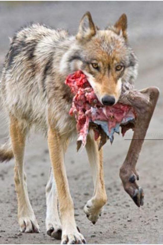 wolf-prey-ken-conger-nps