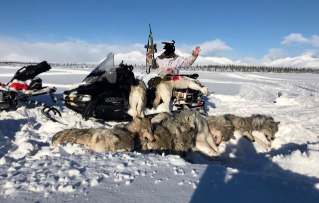 wolves not killed