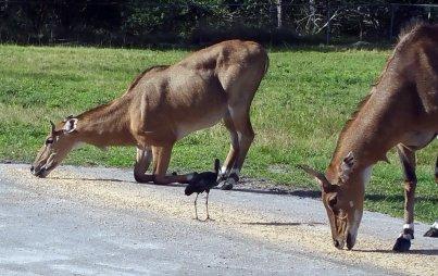 antelope-eating-lion-country-safari