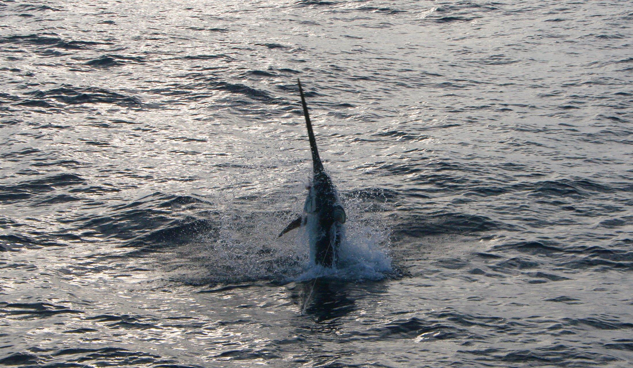 swordfish-jump-islamorada.jpg