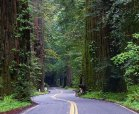 Redwoods tower over the roadway on the Avenue of the Giants in Humboldt Redwoods State Park.