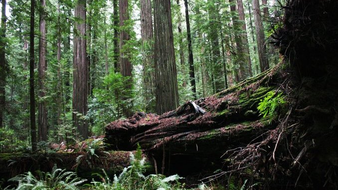 Redwood forest is a primal attraction at Humboldt Redwood State Park.
