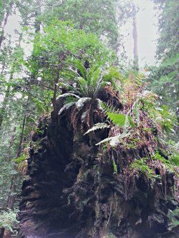 A small tree grows from the upturned roots of the Dyerville Giant at Humboldt Redwoods State Park. (Craig Davis/Craigslegztravels.com)