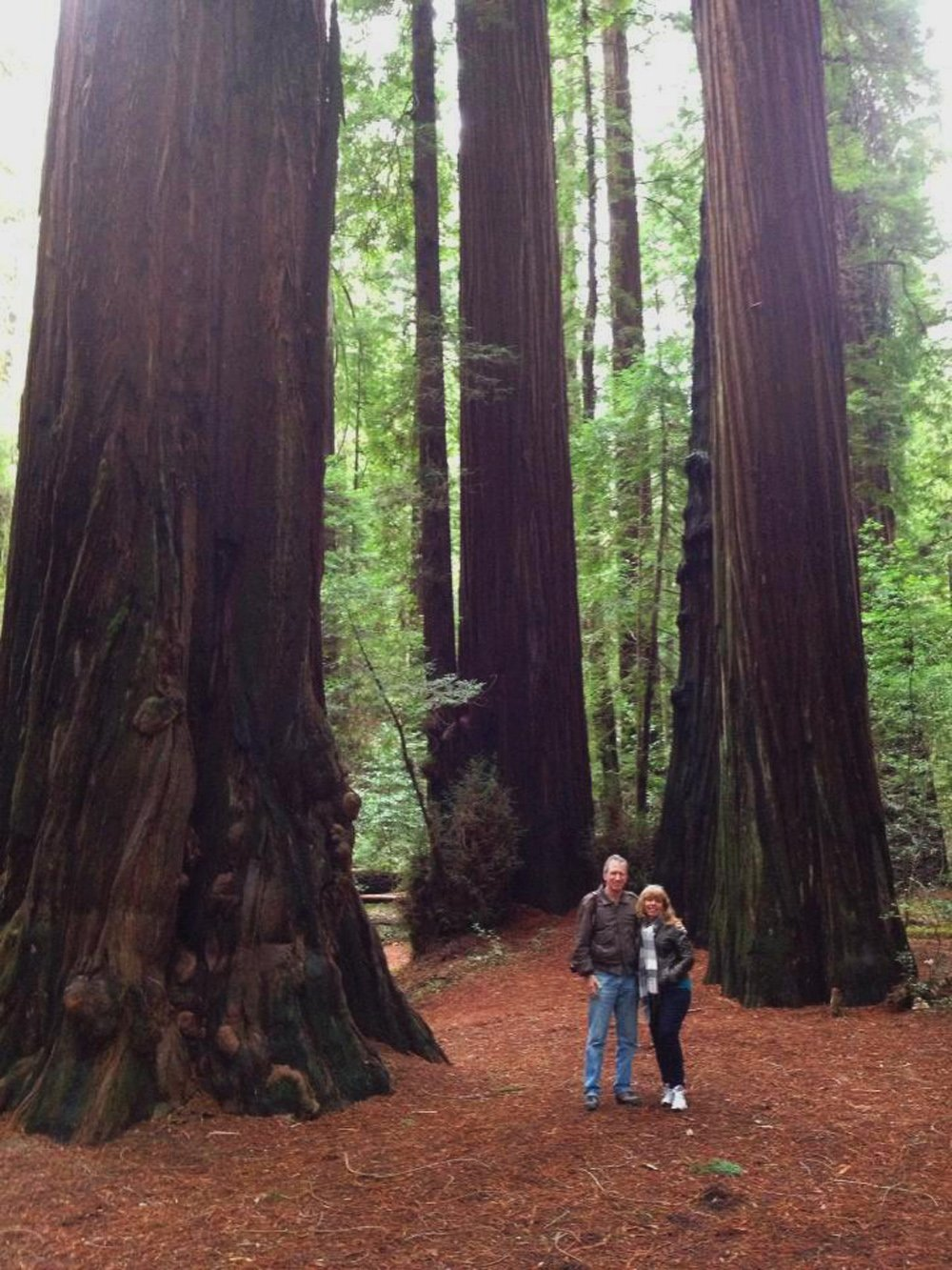 Giant redwoods at Humboldt Redwoods State Park