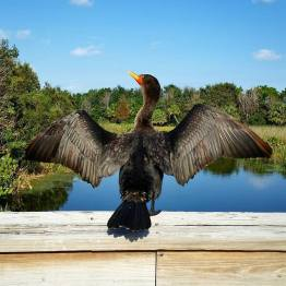 A cormorant dries its wings at Green Cay Wetlands in western Palm Beach County. (Fran Davis/CraigslegzTravels)