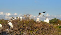 Wood storks build their nests at Wakodahatchee Wetlands. (Craig Davis/CraigslegzTravels)
