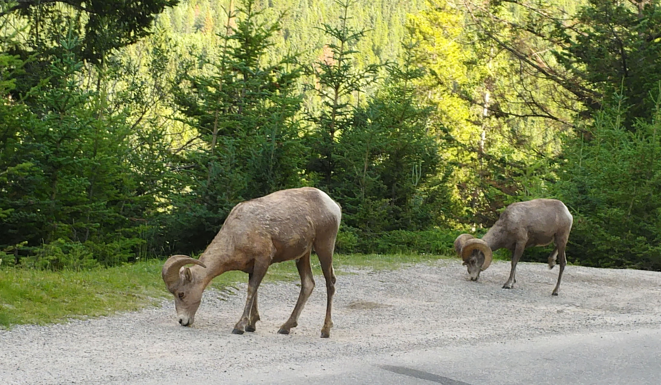 Bighorn sheep along the road overlooking Lake Minnewanka near Banff. (Craig Davis/craigslegztravels.com)