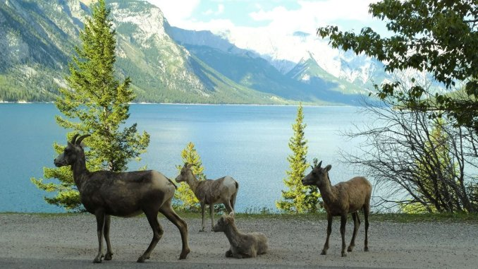 A family of bighorn sheep on the road overlooking picturesque Lake Minnewanka near Banff. (Craig Davis/craigslegztravels.com)
