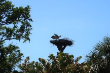 An Osprey on its nest at the Ding Darling Wildlife Refuge, which has more than 245 species of birds. (Craig Davis/Craigslegztravels.com)