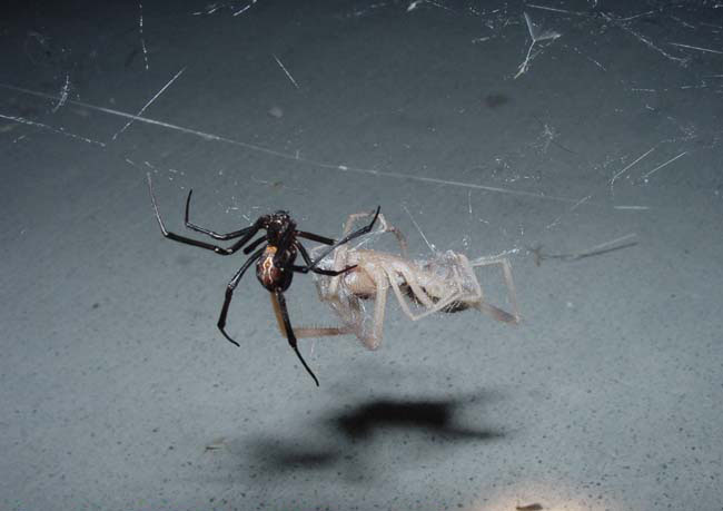 Vs Widow Scorpion Black Texas Spider