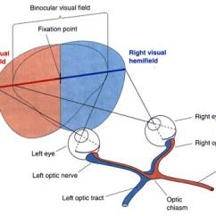 Diagram Of The Left Eye 2005 Kia Sedona Cooling Fan Wiring Right Craigt Avs Visual Fields Fig 10 3 Neuroscience Bear Connors Paradiso
