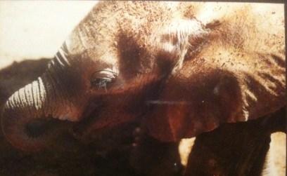 Elefantunge