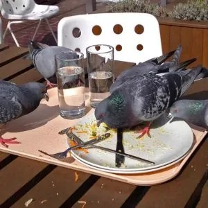 grouping-of-pigeons-on-outdoor-table