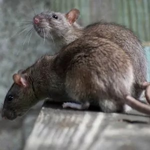 safe-rodent-removal
