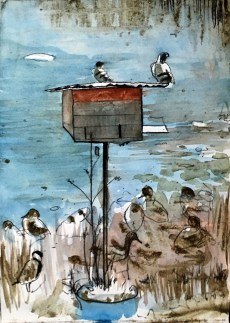 Rock doves breeding in barn owl nest box