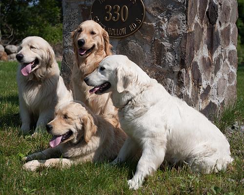 Golden Retriever Puppies for sale Connecticut