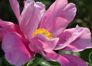 Bild einer Rosafarbenen Blüte