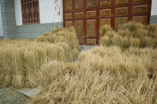 Rice_harvest-10