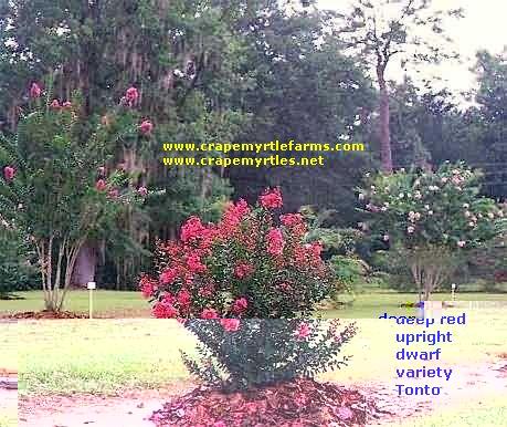 crape myrtle landscaping