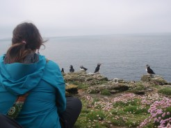 Puffins off the Isle of Mull