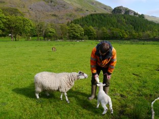 Old pet lamb coming to see...
