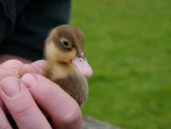 wee ducklings!