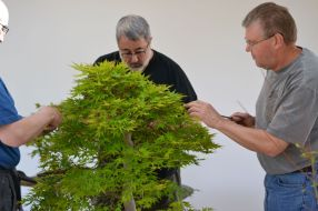 Partial defoliation on an old Japanese maple