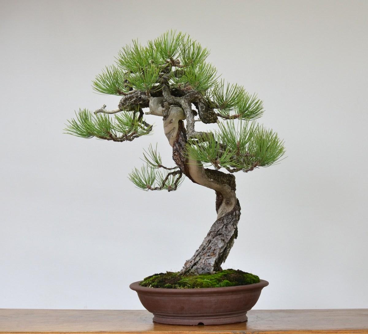 Wiring White Pine Bonsai
