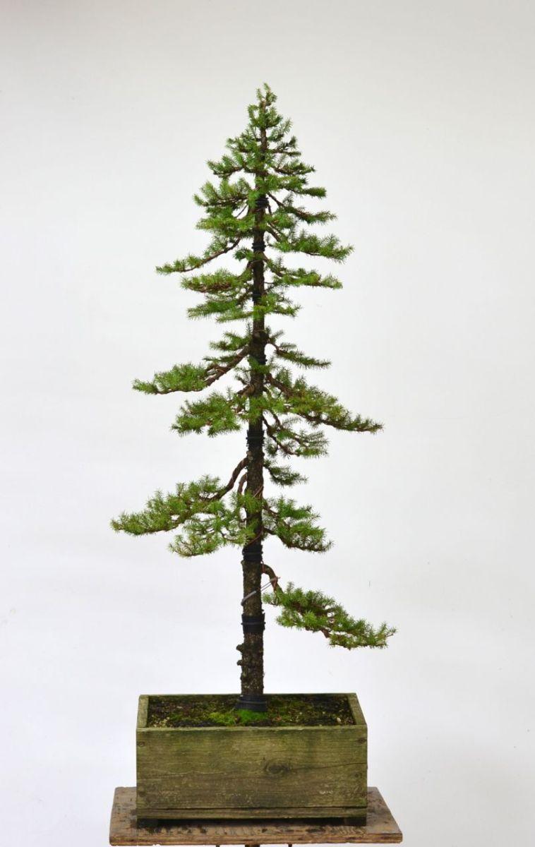 Douglas Fir Bonsai : douglas, bonsai, Spruce, Formal, Upright, Styling, Michael, Hagedorn