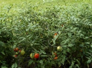 Top Soil Compost Tomatoes