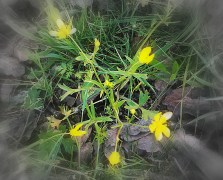 FocalZoomWildflowers 3-19-2016 5-23-40 PM