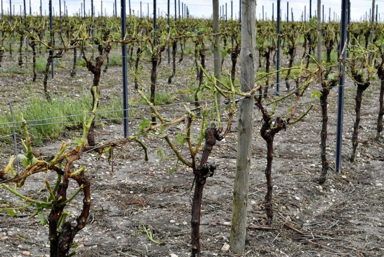 Hail storms wipe out eight million bottles worth of Champagne grapes