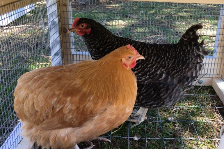 Rent The Chicken provides backyard birds for fresh eggs and down-home fun