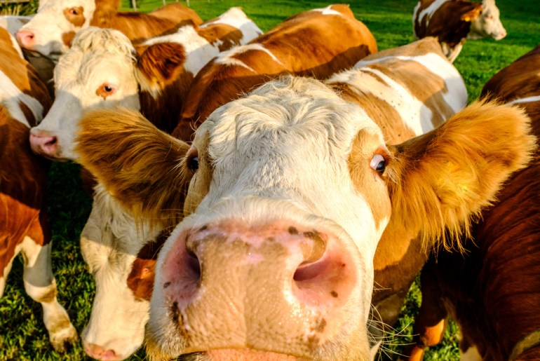Surprising adults think brown cows make chocolate milk by Everybody Craves