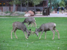 Deers at Zion Lodge