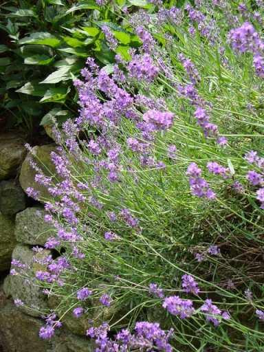 Lavender|Craving Something Healthy