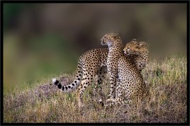 CHEETAH BROTHERS by Graham Russell