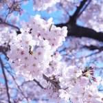 桜イメージ①