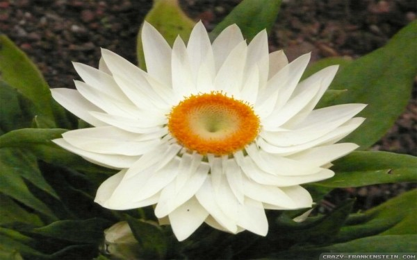 Beautiful White Lotus Flower Imgurl
