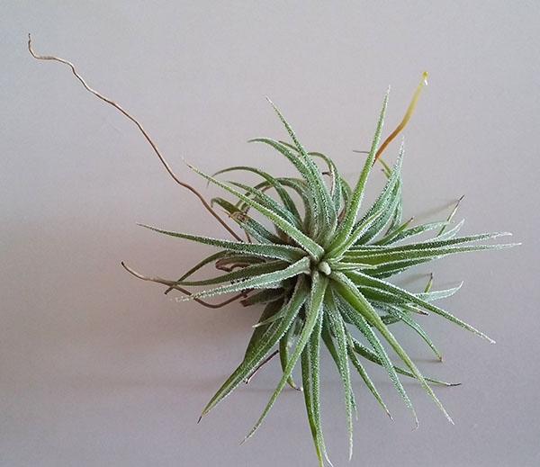 air plant with old and new roots