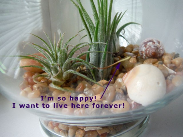 air plant with roots